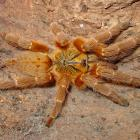 Pterinochilus murinus.