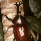 Trypoxylus dichotomus