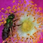 Insecte du genre Agapostemon.