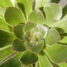 Aeonium rubrolineatum.