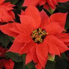Euphorbia pulcherrima 'Sup Jibi Red'