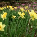 Narcissus cv.