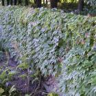 Parthenocissus tricuspidata.