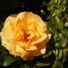 Rosa 'Eureka'.