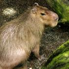 Capybara (Hydrochoerus hydrochaeris) in the Tropical Rainforest at the Biodôme