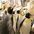 King penguins (Aptenodytes patagonica).