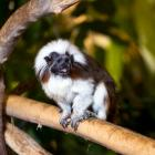 Tamarin pinché (Saguinus oedipus) dans la forêt tropicale humide du Biodôme
