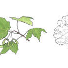Acer nigrum