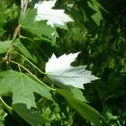 Acer saccharinum.