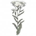 Achillea millefolium (Achillea lanulosa)