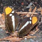 Adelpha californica