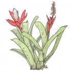 Aechmea nudicaulis (L.) Griseb.