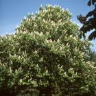 Aesculus hippocastanum 'Memmingeri'.