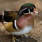Wood duck - male (Aix sponsa)