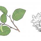 Alnus rugosa (syn. A.incana)