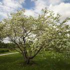 Amelanchier sp.