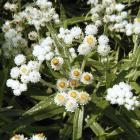 Anaphalis margaritacea