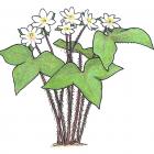 Anemone acutiloba (anc.: Hepatica acutiloba)