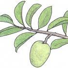 Annona glabra L.