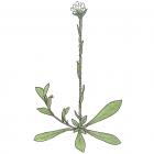 Antennaria canadensis