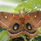 Antheraea polyphemus
