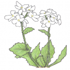 Arabis alpina
