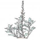 Artemisia stelleriana