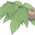 Bagassa guianensis Aubl.