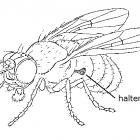 Wings of a Diptera.