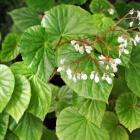 Begonia sp.