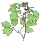 Caulophyllum thalictroides