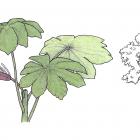 Cecropia obtusifolia Bertol.