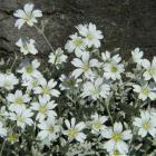 Cerastium tomentosum var. aetnaeum.