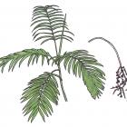 Chamaedorea costaricana oerst.