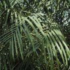Chamaedorea seifrizii