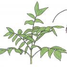 Chamaedorea warscewiczii H. A. Wendl.