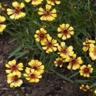 Coreopsis-tinctoria