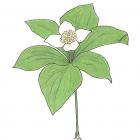 Cornus canadensis