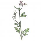 Corydalis sempervirens