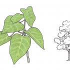 Croton lechleri Muell.-Arg.
