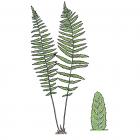 Deparia acrostichoides (anc. Athyrium thelypteroides)