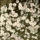 Dianthus deltoides 'Albus'