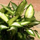 Dieffenbachia maculata 'Camilla'