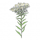 Doellingeria umbellata (syn. Aster unbellatus)