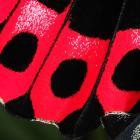 Écailles sur les ailes d'un papillon.