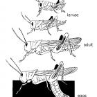 Life cycle of the grasshopper.
