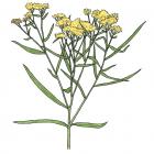Euthamia graminifolia (anc. Solidago graminifolia)