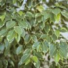 Ficus benjamina 'Variegata'