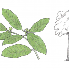 Ficus maxima P. Miller
