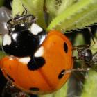Attack of a ladybird beetle, Québec, Canada.